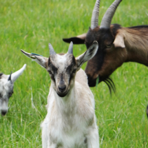 Chèvres au pré à Foucaucourt-sur-Thabas