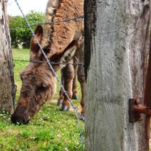 Les ânes à Evres
