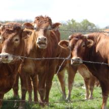 Vaches au pré sur la route de Triaucourt